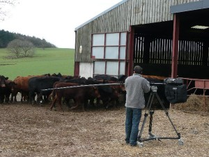 Polecam with Toshiba minicam filming cows for BBC
